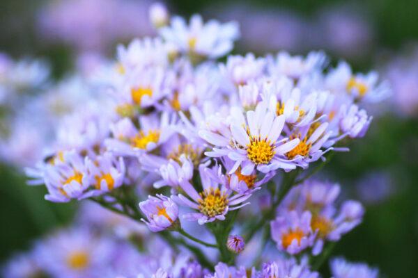 紫苑 キク科の多年草